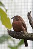 Roter Kronfink - Henne (Wilhelma)