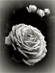 la rosa e i suoi sogni