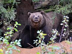 Aug in Aug mit den Tieren des Waldes - Braunbär