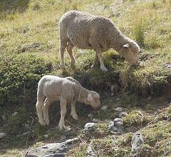 J comme JEUNE mouton et sa maman
