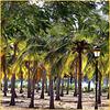 Taqah : Le palme dell'Oman