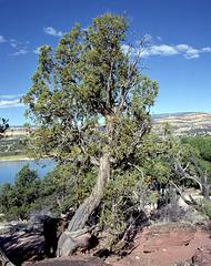 The Utah Cedar