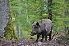 Aug in Aug mit den Tieren des Waldes - Wildschwein