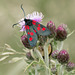 Five Spot Burnet Moth