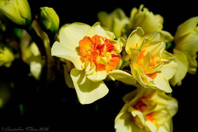 The first of the daffs
