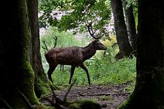 Aug in Aug mit den Tieren des Waldes - Hirsche