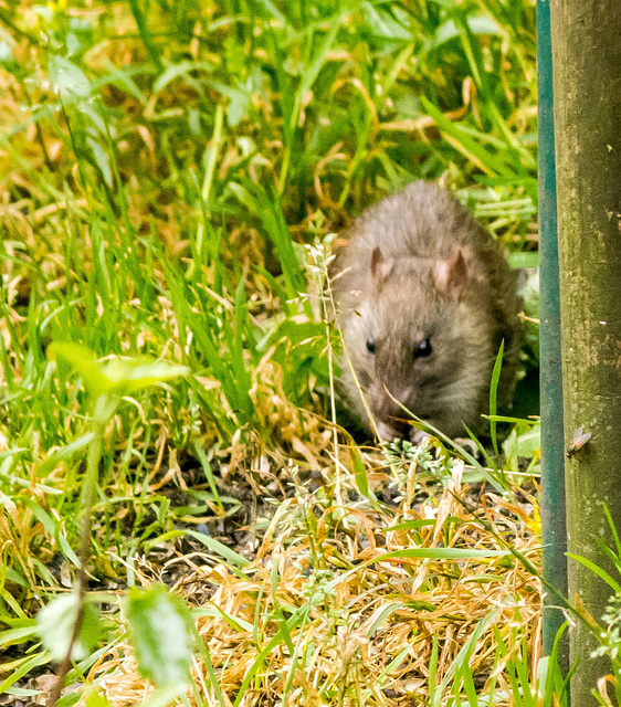Ratty out for a walk