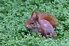Eichhörnchen im Wintergarten III (Wilhelma)