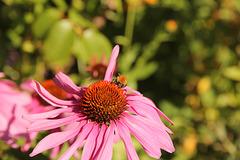 Kleine Hummel auf rotem Sonnenhut - Echinacea purpurea
