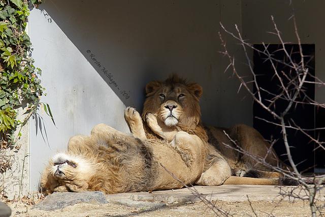 Explored - Die Löwen sind los II (Wilhelma)