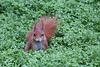 Eichhörnchen im Wintergarten II (Wilhelma)
