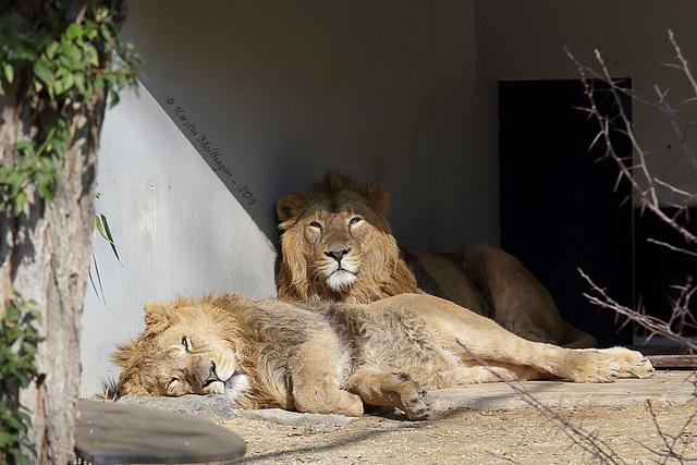 Die Löwen sind los III (Wilhelma)