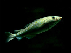 Gadus morhua; Aquarium Helgoland
