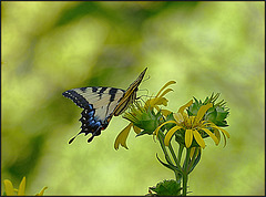 In Late July, the Swallowtails Returned