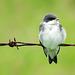 Tree Swallow fledgeling