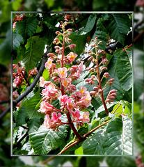 Blüten der Purpurkastanien. ©UdoSm
