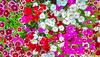Dianthus impressions
