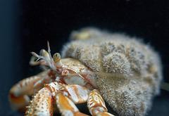 Pagurus bernhardus; Aquarium Helgoland