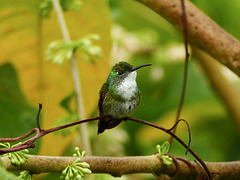 White-necked Jacobin female, Trinidad