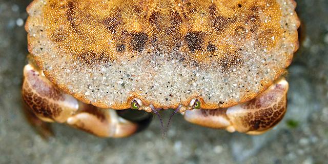 Cancer pagurus; Aquarium Helgoland