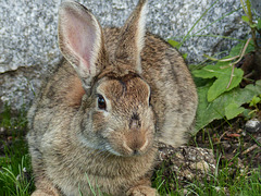 Wild European Rabbit