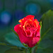 Rose 24/50 : La rose en bleu