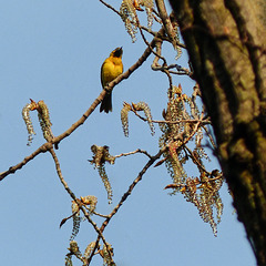 Day 3, Orchard Oriole, Pt Pelee