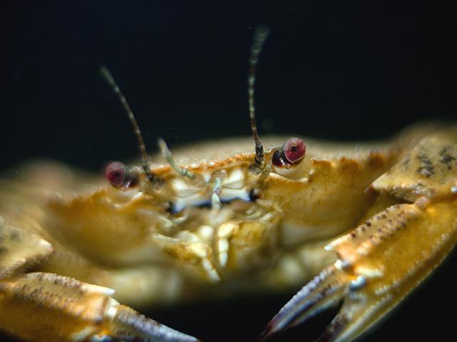 Necora puber; Aquarium Helgoland