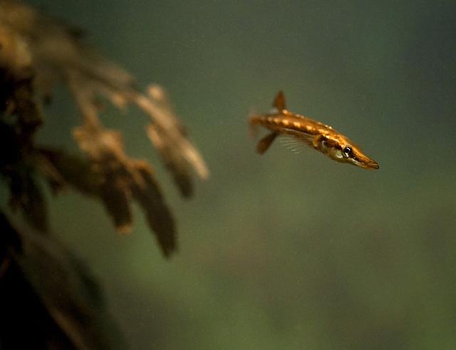 Spinachia spinachia; Aquarium Helgoland