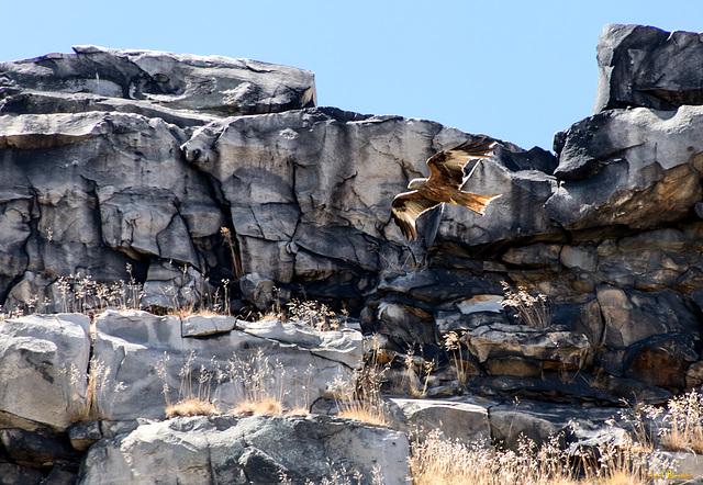 Falke an der Teufelsmauer (2*PiP)