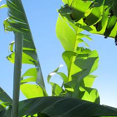 U wie UNTER dem Bananenbaum