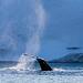 Diving Humpback (PiP)