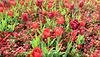 La vie en tulipes,,