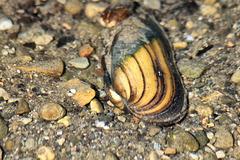 Muscheln im Illmensee