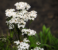 The Yarrow is about the last to hold it's blooms.
