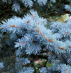 PIN BLEU / BLUE PINE TREE