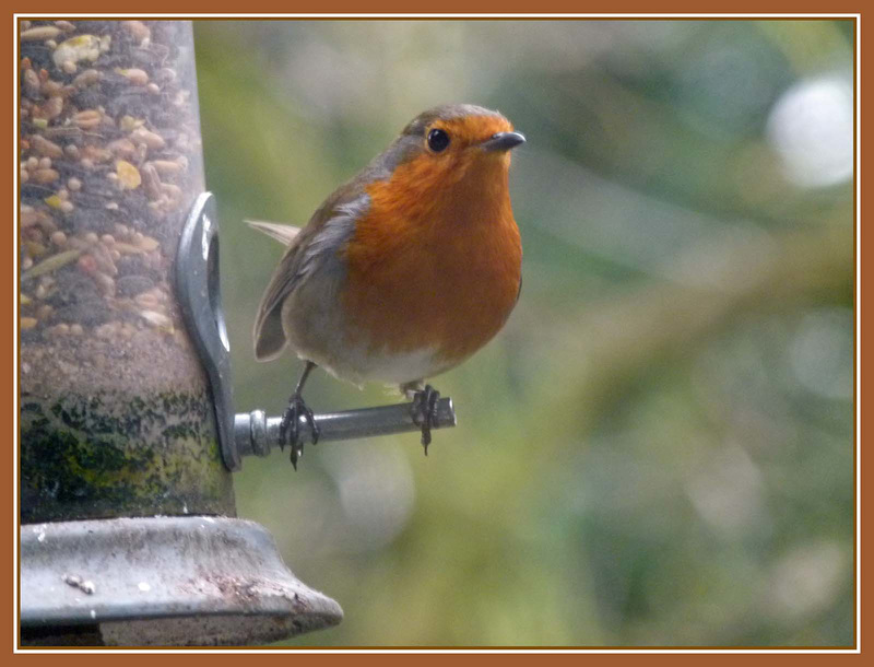 Robin (4)