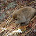 Japan, Jigokudani Yaen-Kōen Snow Monkey Park, A Cub of Japanese Macaque on Warm Ground at the Hot Spring