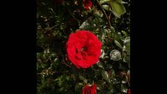 2021, l'année de la rose   the year of the rose
