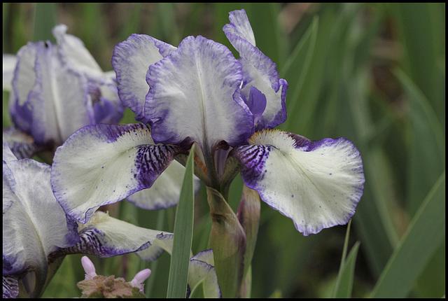 Iris 'Jenny Grace'