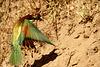 Merops apiaster, Abelharuco