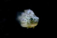 Cyclopterus lumpus; Aquarium Helgoland
