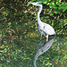 A Heron possibly reflecting on his lunch