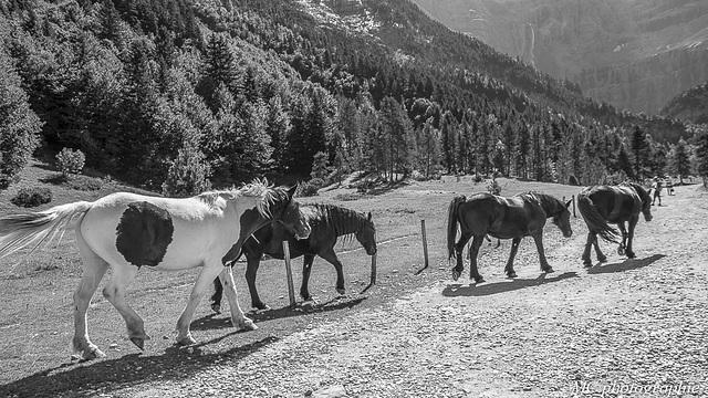 Pic du Midi, soulagement des chevaux aprés la promenade .