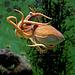 Eledone cirrhosa; Aquarium Helgoland