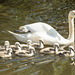 Canal Swans 13