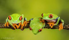 Red Eye Tree Frog Trio