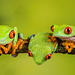Red Eye Tree Frog Trio