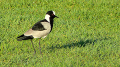 Blacksmith Lapwing, Knysna