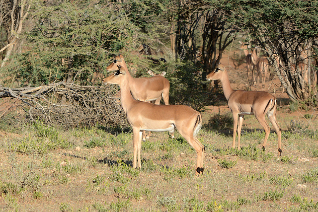 Namibia, Three Female Impalas in the Erindi Game Reserve